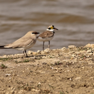 Small Partincole and small plover