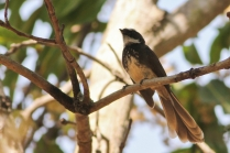 White browed Fantail Flycatcher