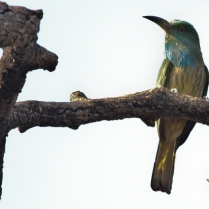Blue bearded Bee eater