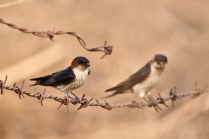 Red rumped swallow.