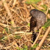 Grey bellied cuckoo.
