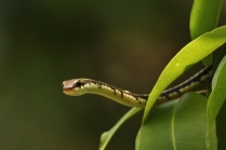 Indian Common Bronze back Tree Snake - A great mover