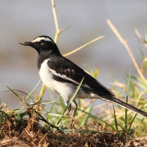 Pied Wagtail with broken beak