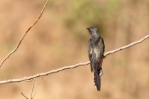Grey Bellied Cuckoo - Back pose