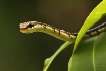Indian Common Bronze back Tree Snake