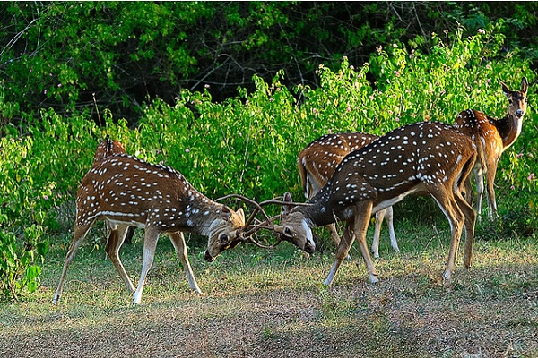 Deer at Bandipur