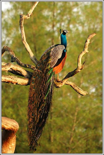 Peacock at Bandipur National Park