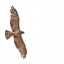 Short toed Snake Eagle