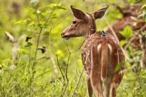 Deer Family at Bandipur