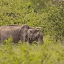 Indian Elephant - Quite weak in post summers - At Bandipur