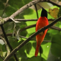 Scarlet Minivet at Edekkal Caves