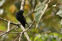 Asian Drongo-Cuckoo at Eddekal Cave