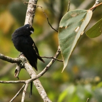 Asian Drongo-Cuckoo at Eddekal Cave