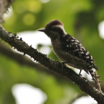 Brown-capped Woodpecker at Eddekal Caves