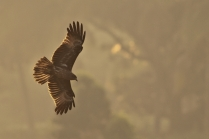 Brahminy Kite in morning light