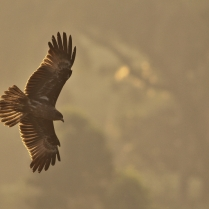 Brahminy Kite in morning light