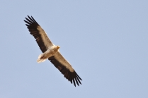 Egyptian Vulture with his family