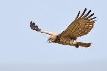 Short toed Snake Eagle taking the flight