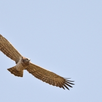 Up in the sky - Beautiful Display of Short toed Snake Eagle.