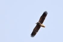Egyptian Vulture - Juv.