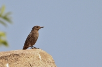 Female Blue Rock Thrush searching for prey.