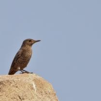 Female Blue Rock Thrush searching for prey.