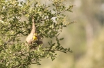Baya Weaver - All set with the nest