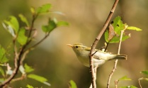 Greenish Warbler - Strong migrant