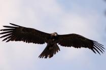 Black Eagle - More close view