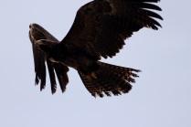 Side view - Black Eagle