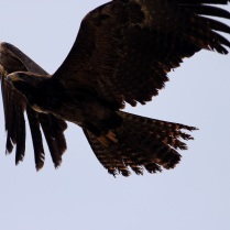 Side view - Black Eagle