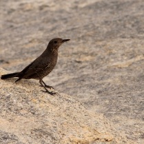 Blue Rock Thrush - Female