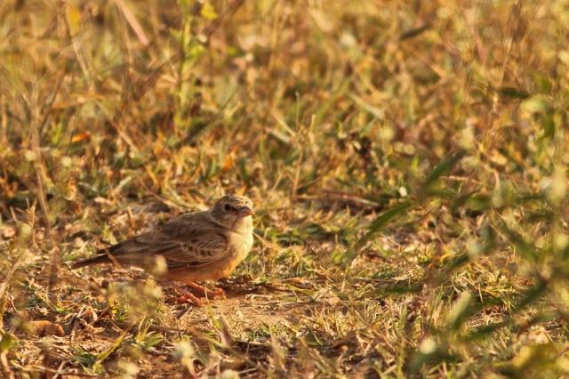 Ashy Crowned SparrowLark - Female