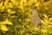 Blyth Reed Warbler