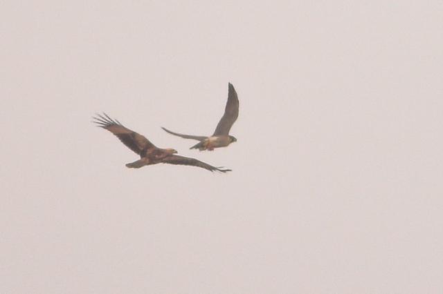 Brahminy Kite chasing Peregrine Falcon