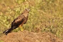 Marsh Harrier - Female