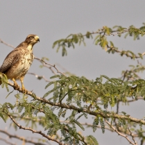 White eye buzzard