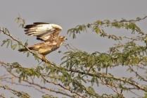 White Eye Buzzard taking flight