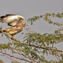 White Eye Buzzard taking flight