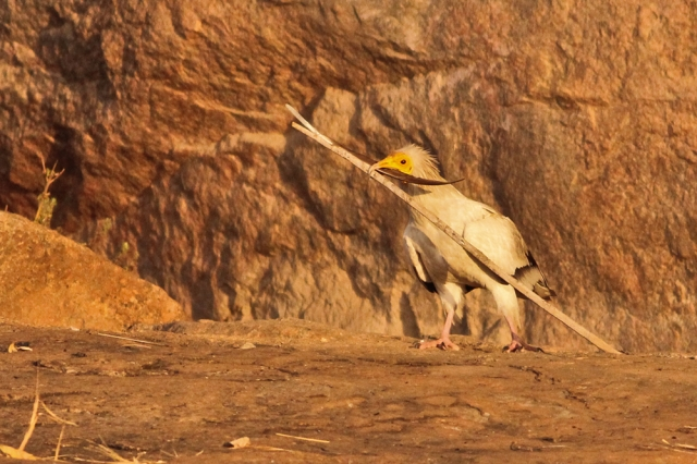 Egyptian Vulture constructing home