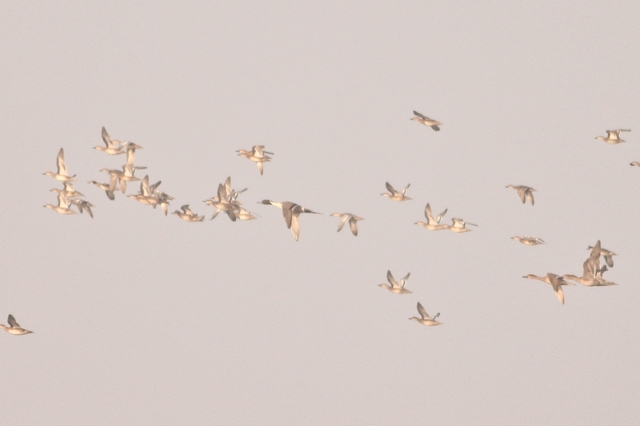 folk of pintail with female in center