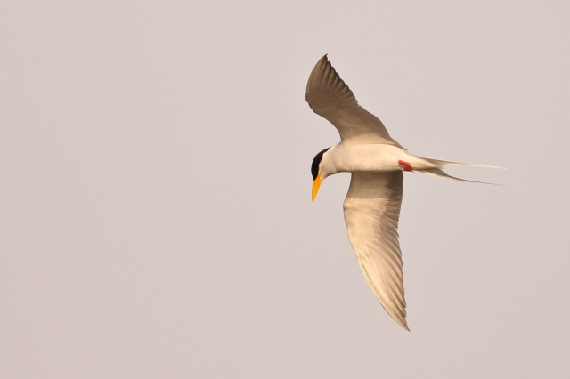Flight of River Tern