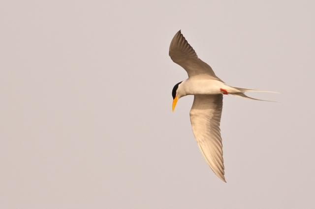 Flight of River Tern
