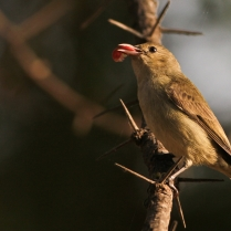 Pale Billed Flowerpecker