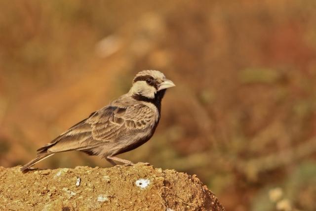 Ashy Crowned SparrowLark- Male