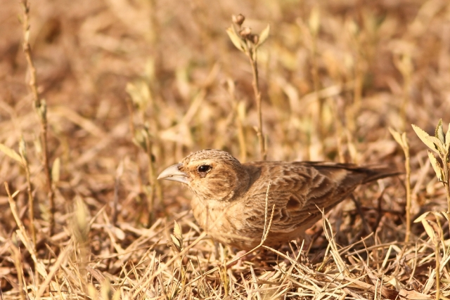 Ashy Crowned SparrowLark
