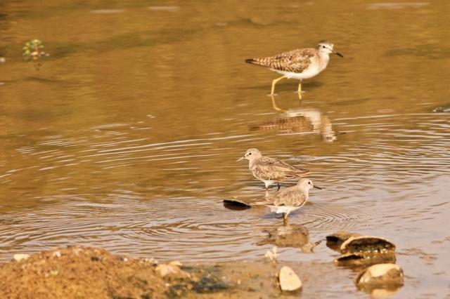 Common Sandpiper + Little Stint
