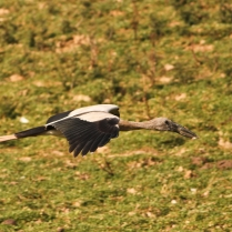 Openbill stroke in flight