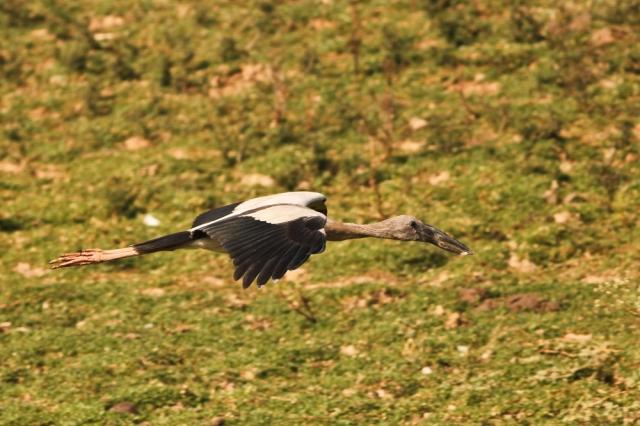Openbill stroke in flight