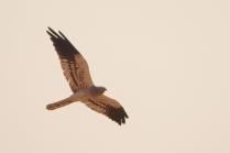 Montagu Harrier - Male